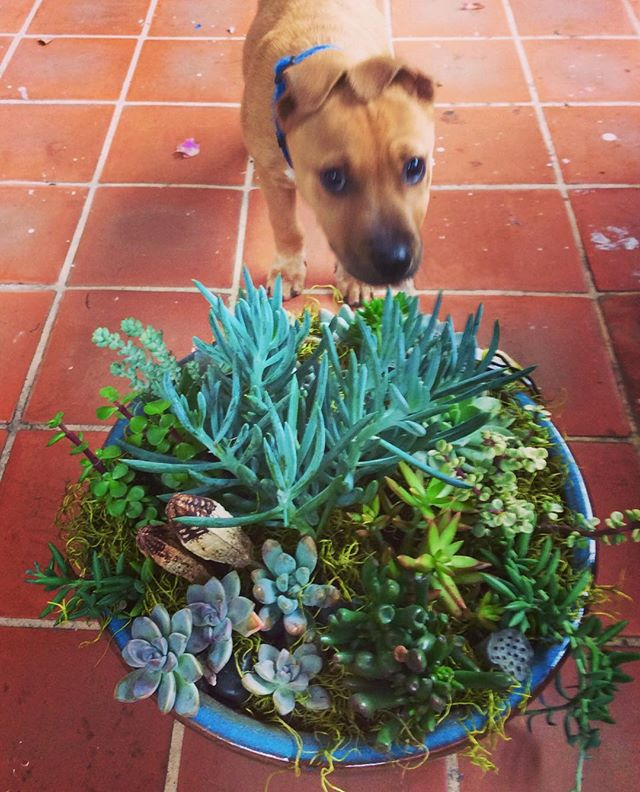 Thanks to my new pup Major for the help. He has a nose for detail! #succulents #sandiegoflorist #losangelesflorist #junebloomfloral #puppyphotobomb