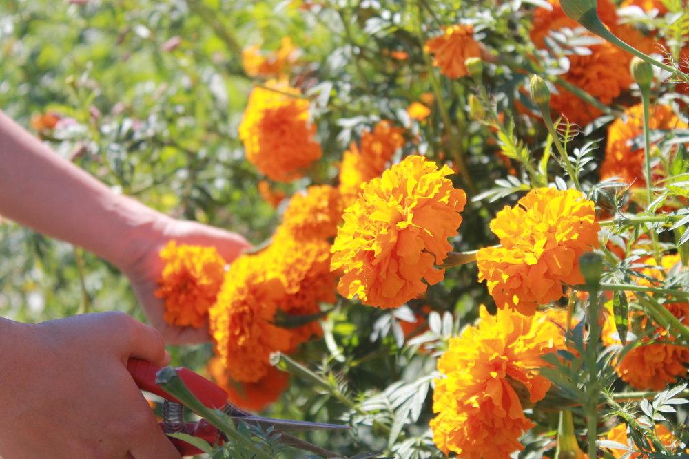 Deadheading Marigolds @ Vibrant Valley Farms