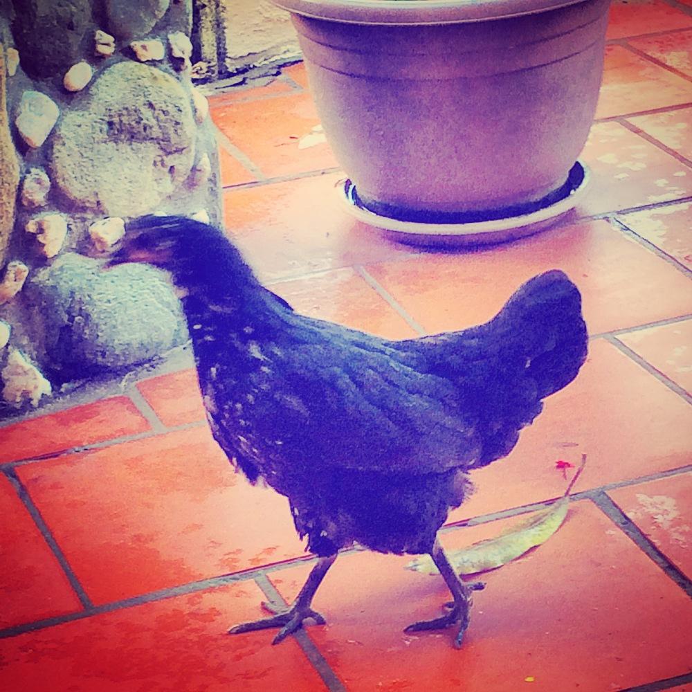 Meet a local chicken