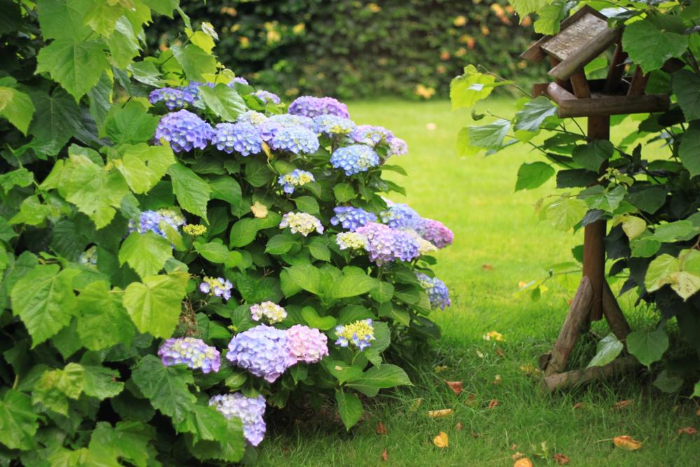 庭に咲くあじさい、オーラソーマのOrion & Angelica色
