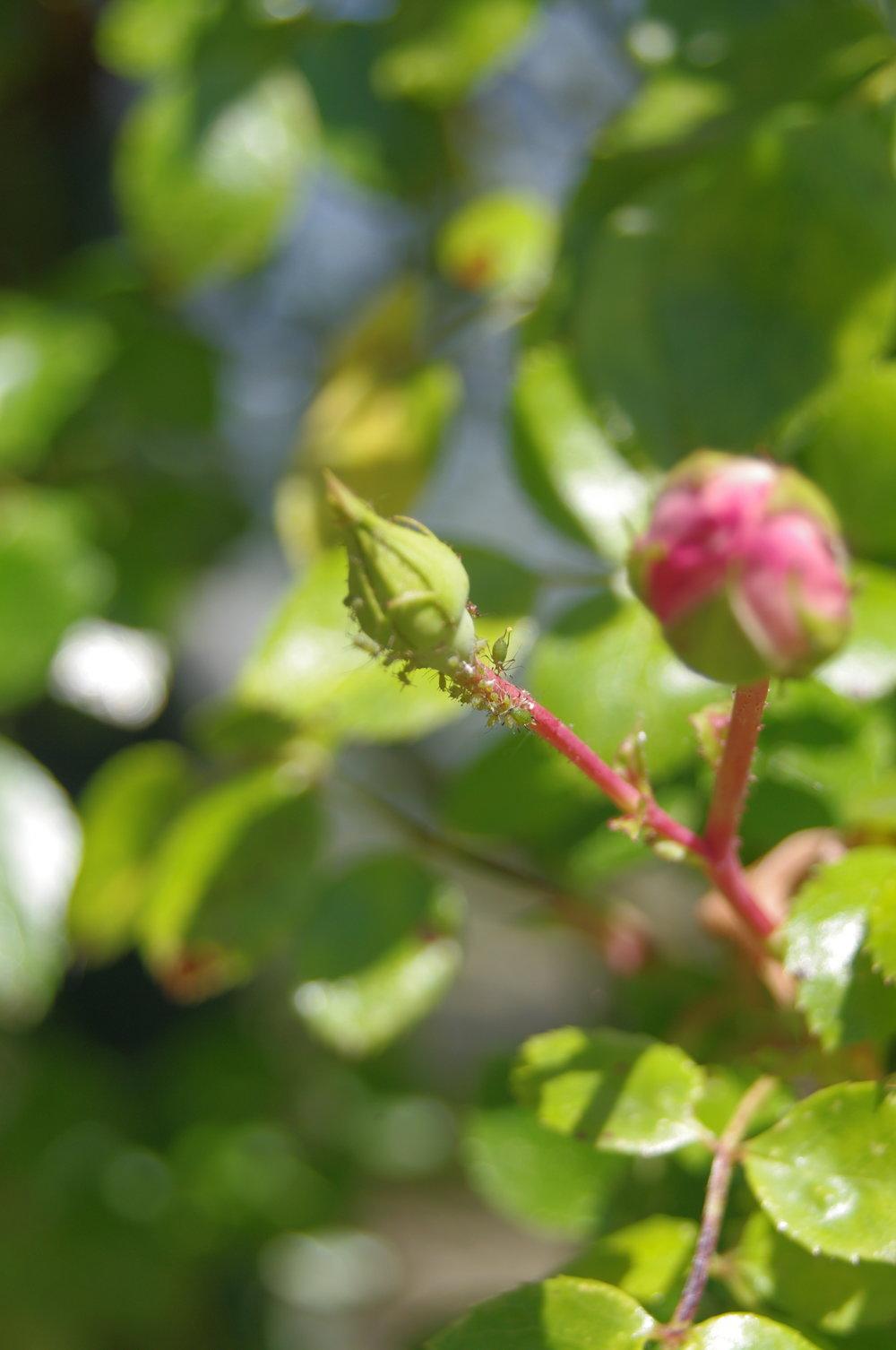 バラの蕾につくアブラムシ