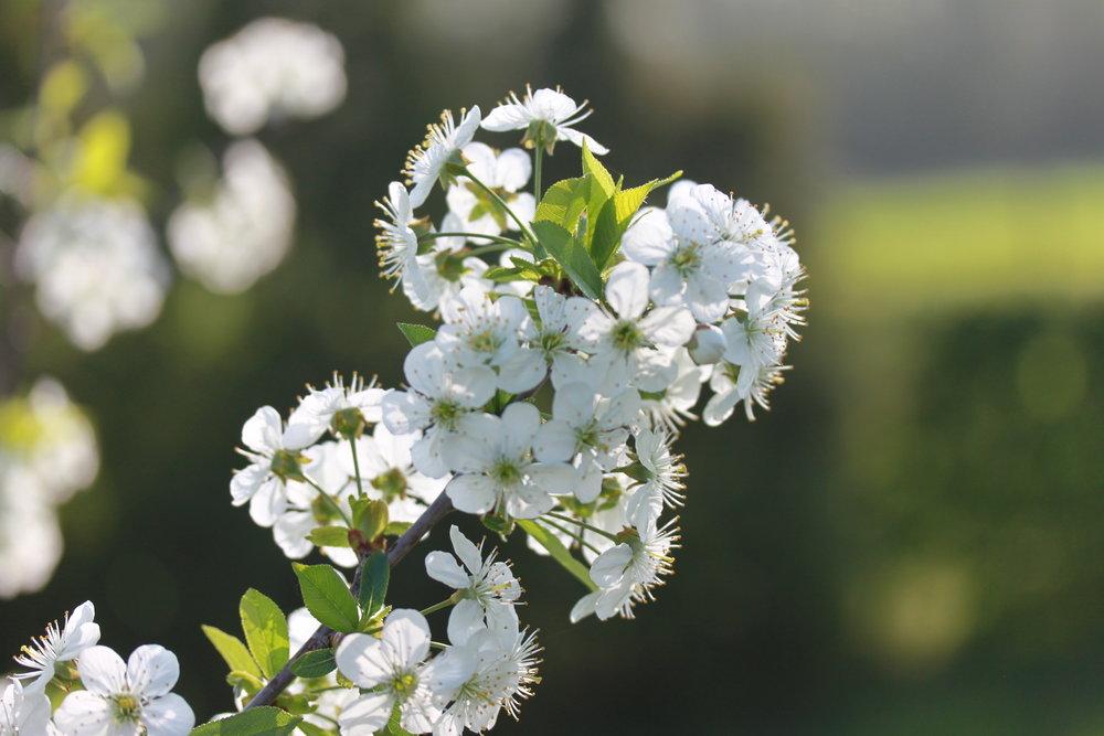 お庭に咲くりんごの木の花