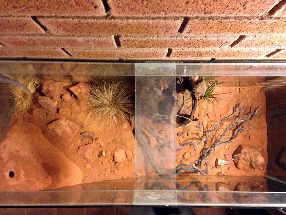 Myrmecia nest (6).jpg