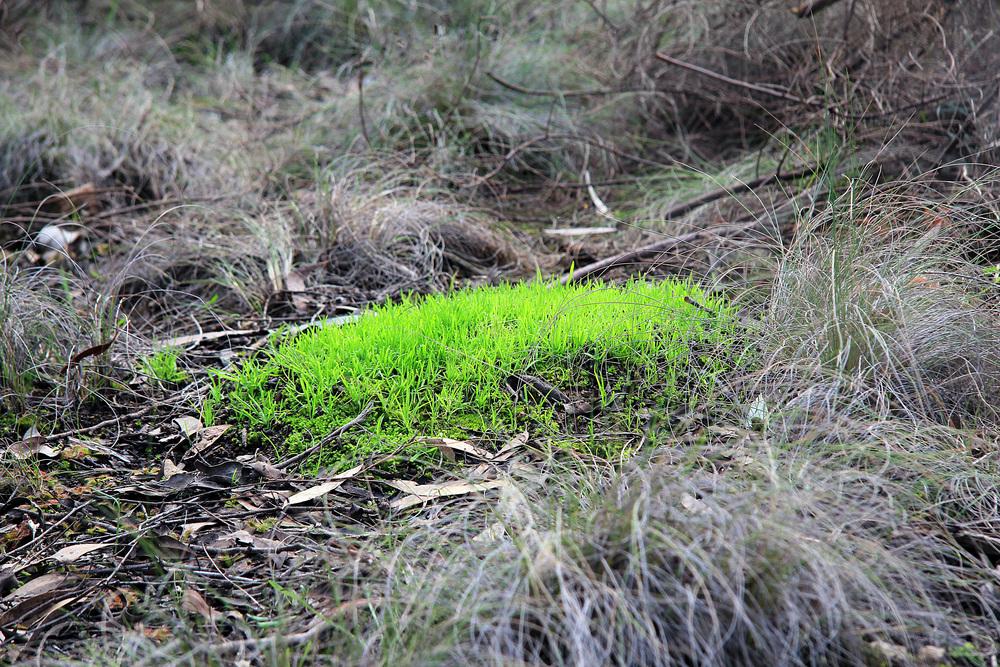 Myemecia nest.jpg