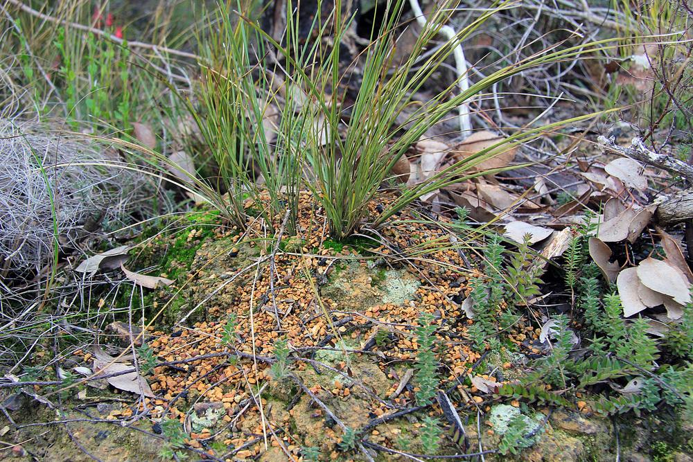Myrmecia nest 2.jpg