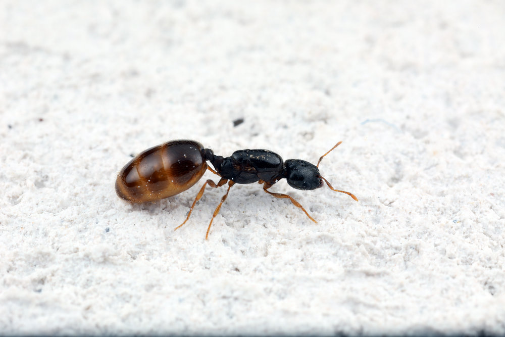 Monomorium sp. queen.jpg