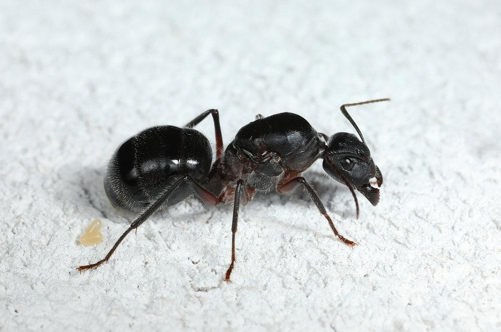 Camponotus cf intrepidus queen.jpg