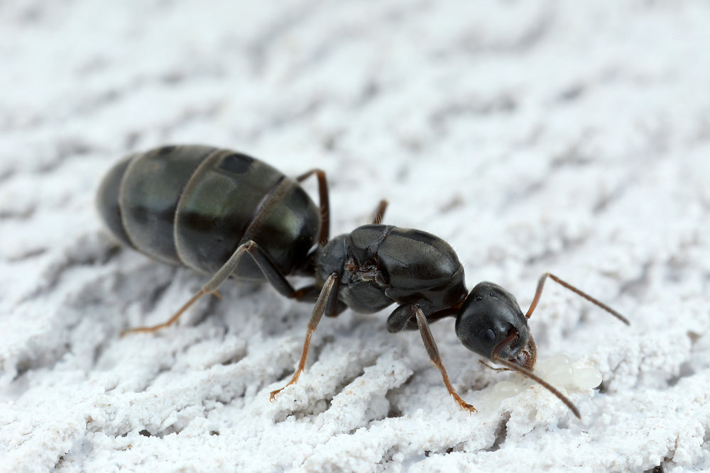 Iridomyrmex sp queen.jpg