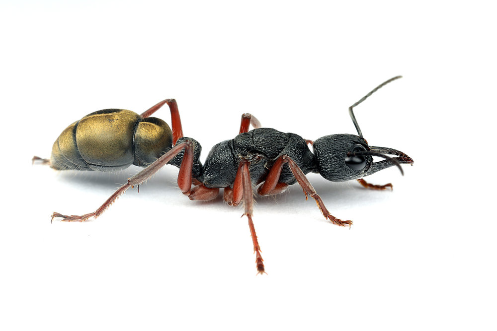 Myrmecia fulvipes queen.jpg