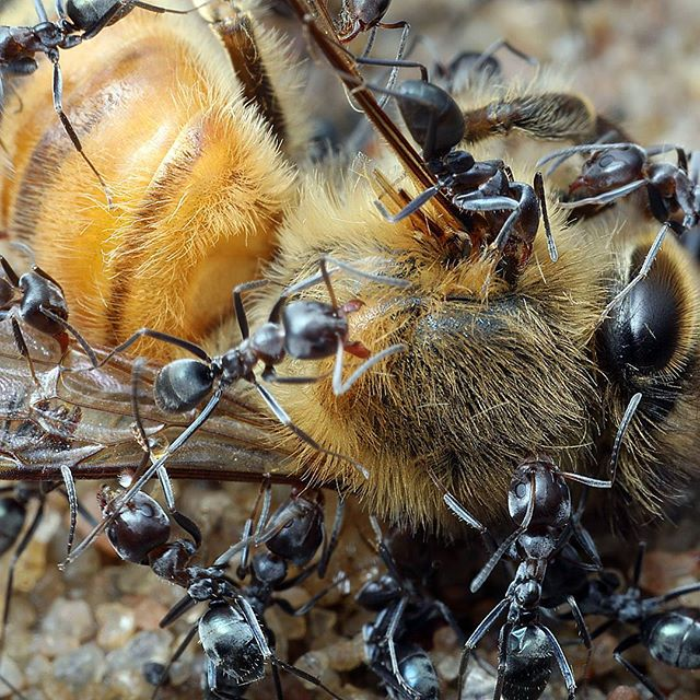 A colony of Iridomyrmex ants subdue a honey bee. They start by dismembering her wings and legs before dragging her back to their nest.