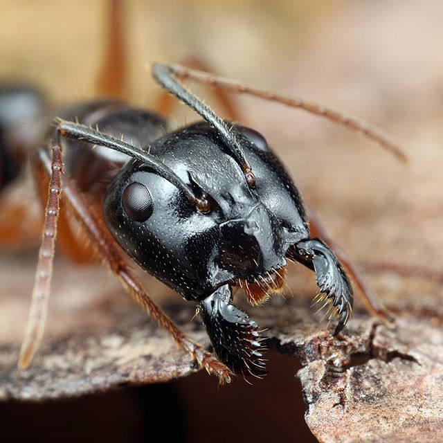 A Camponotus species from Western Australia. She was very unhappy with our presence and was determined to defend her nest.