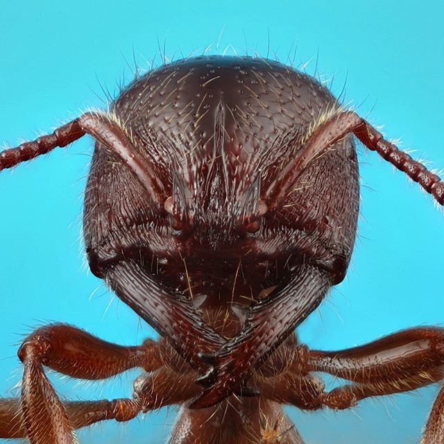 Amblyopone sp. These Vampire Ants drink the blood of their larvae.