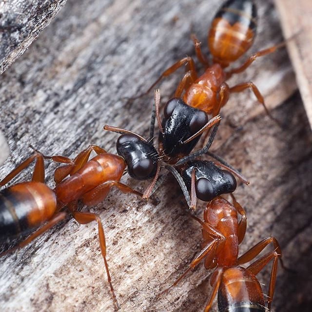 A trio of Opisthopsis rufithorax ants stop for a quick meeting. Their erratic movement has earned them the nickname of Strobe Ants.