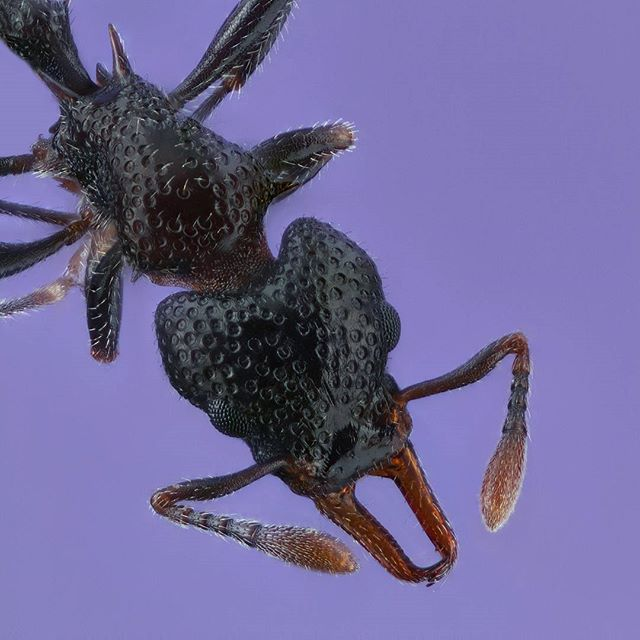 Orectognathus sp. . .  This ant with an exoskeleton like a golf ball is just 2mm long. . .  This extreme macro photo consists of 106 images stacked together to achieve the final image. . .