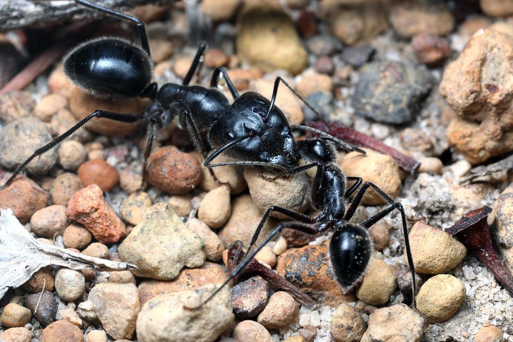 Camponotus intrepidus WA.jpg