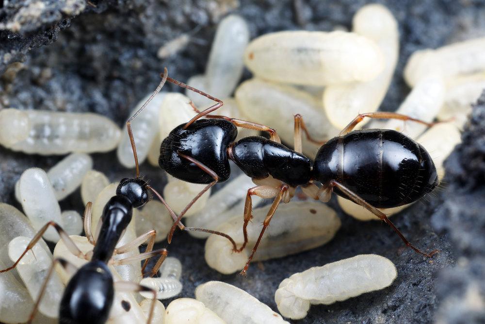 Camponotus cf lownei 3.jpg