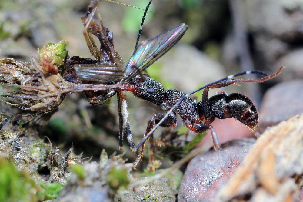 Rhytidoponera sp 4.jpg