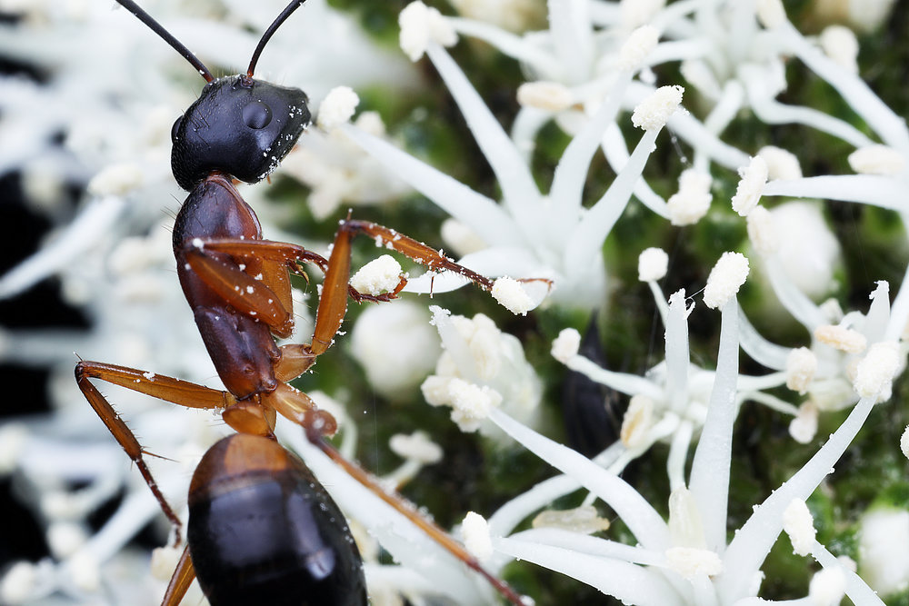 Camponotus consobrinus 5.jpg
