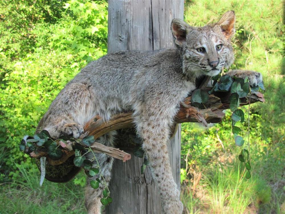 bobcat on Limb (Large).JPG