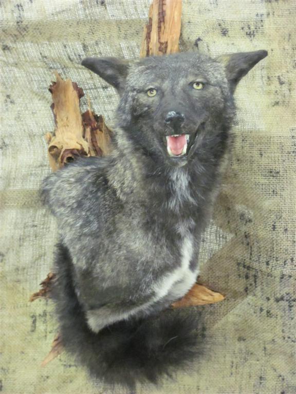 Coyote (Large).JPG