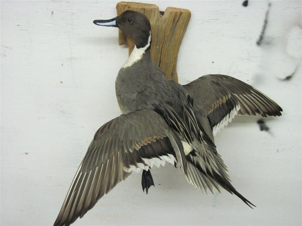 Duck Facing Lt (Large).JPG