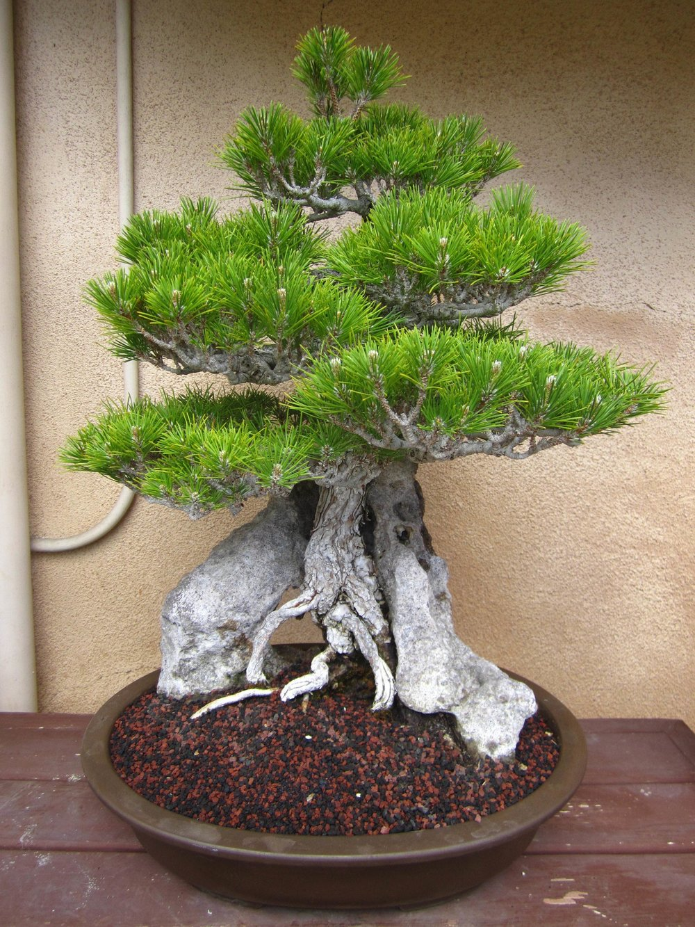 2. Japanese Black Pine