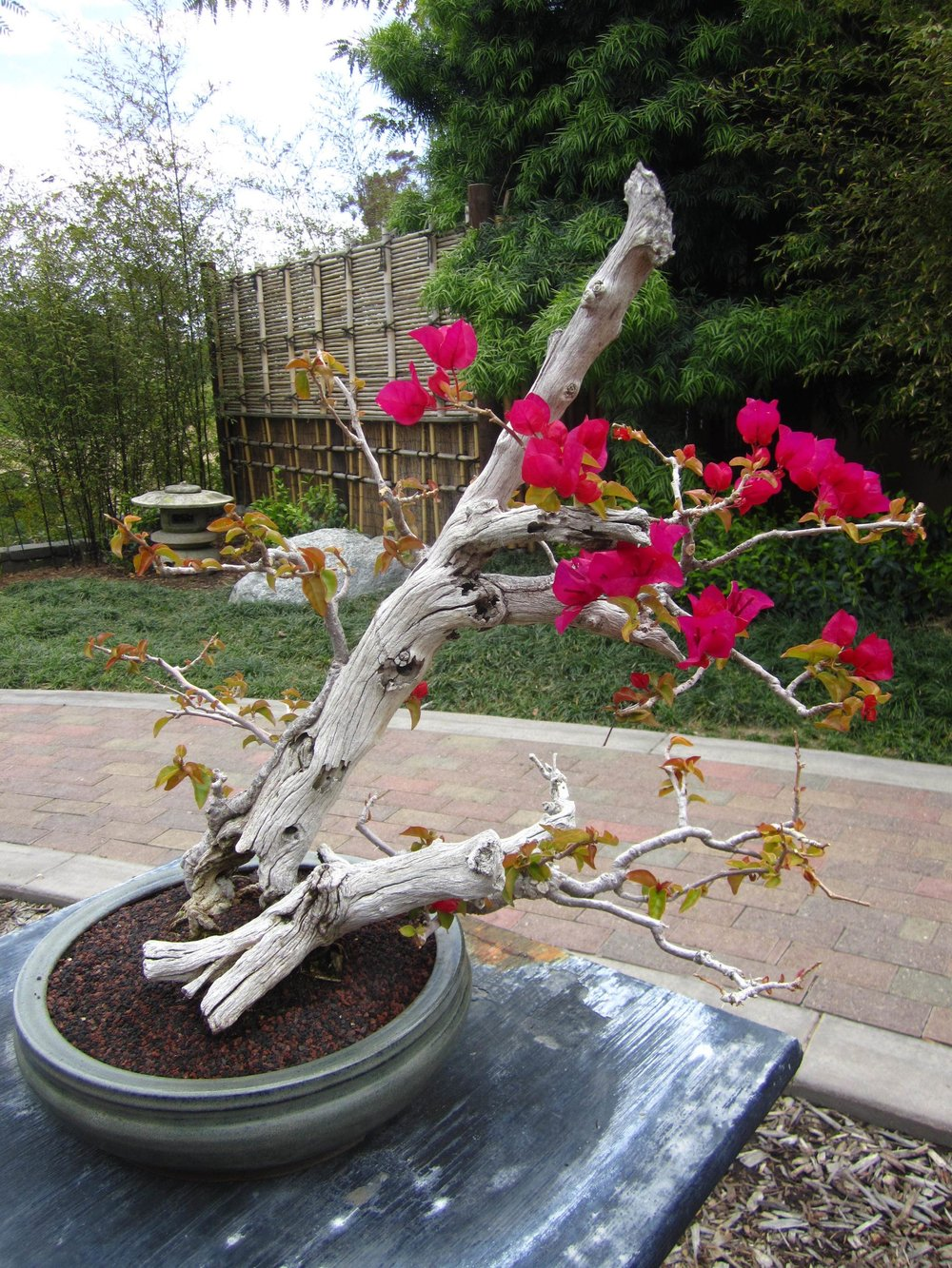 Bougainvillea (in nursery)