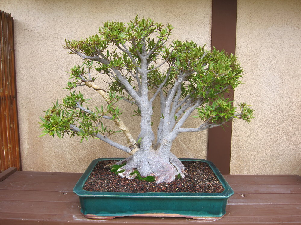 2. Willow Leaf Ficus