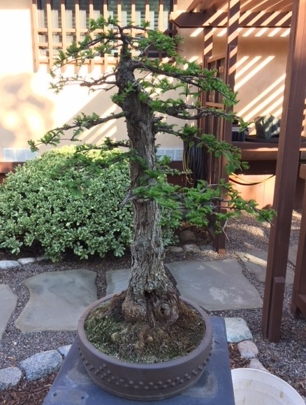 14. Bald Cypress