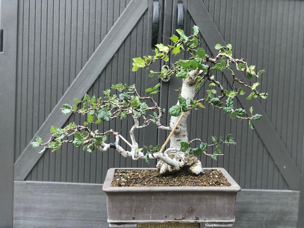 15. California live oak/Coast live oak