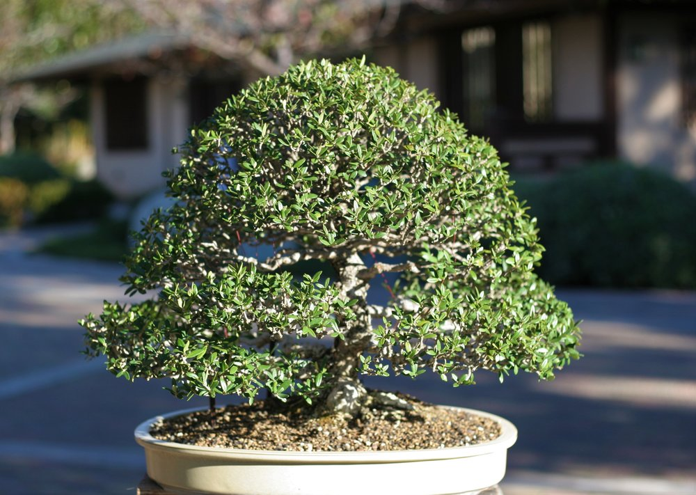 16. European Olive
