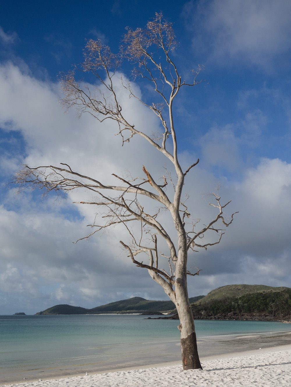 Love this tree, right on Whitehaven beach.