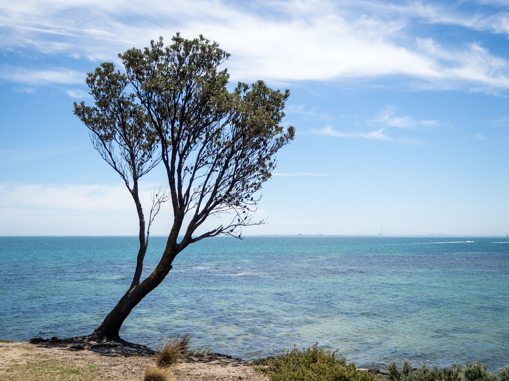 Iconic tree at Brighton beach in Australia.