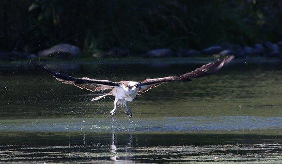 osprey-3002707__340.jpg