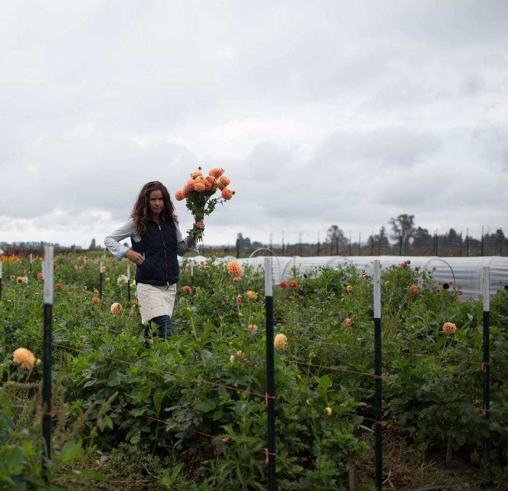 Harvesting dahlias at the Floret Workshop.