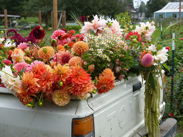 A truckload of blooms from the 2015 Floret Workshop in Mt. Vernon, WA.