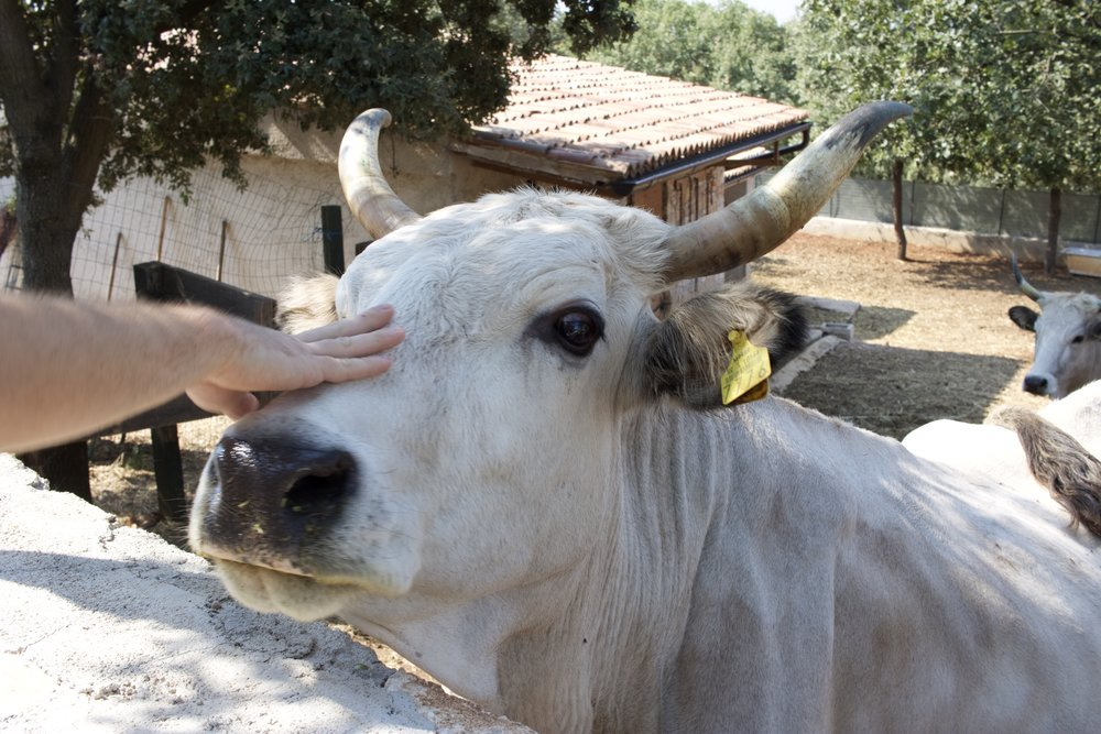 Hanging out with one of the famous Istrian oxen.