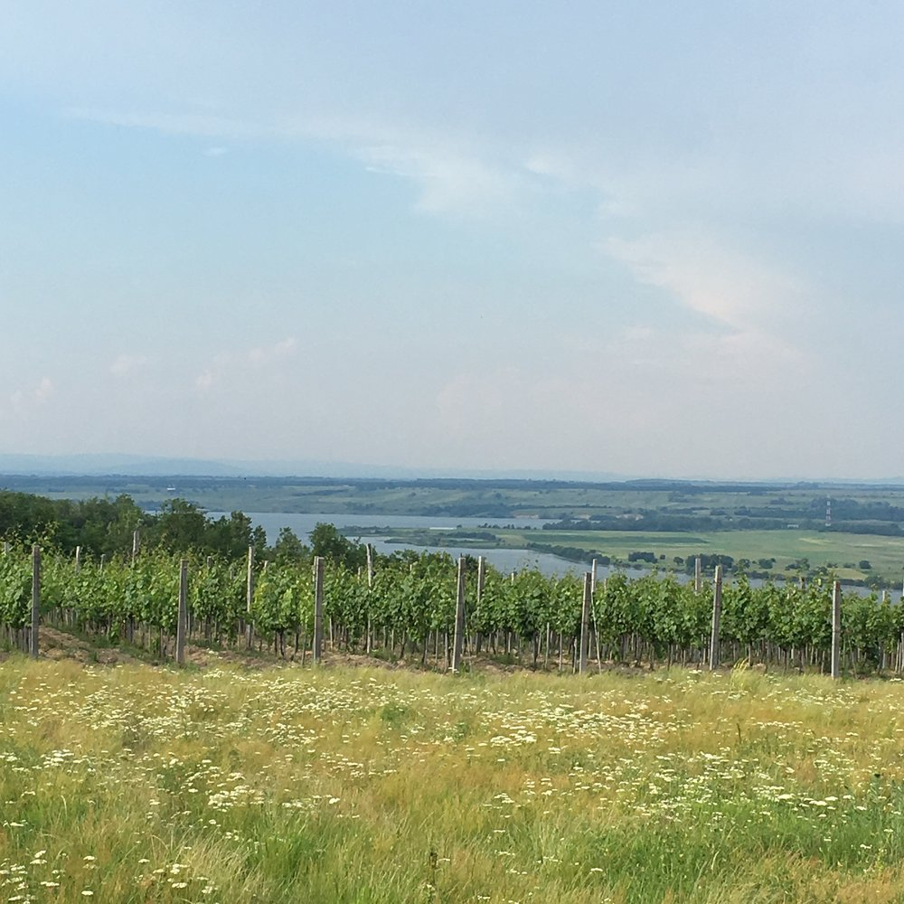 Vineyards in Serbia, looking over the Danube River into Romania