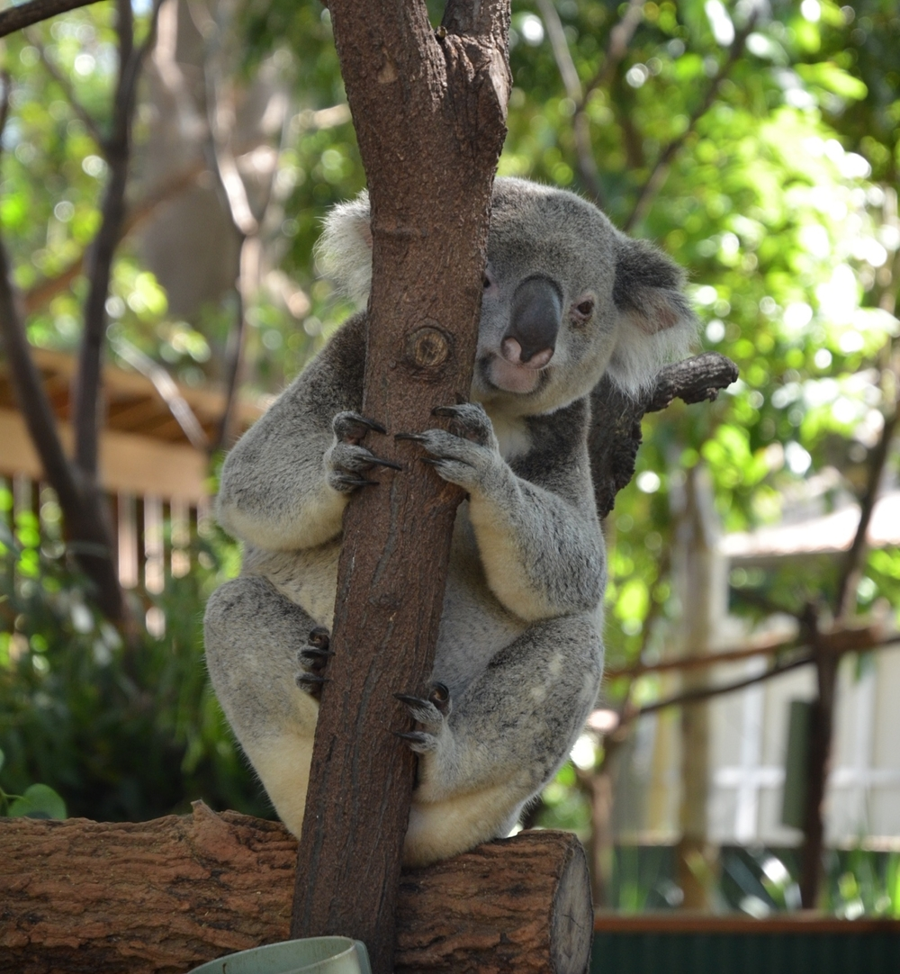 Koala, Currumbin Wildlife Sanctuary, Surfer's Paradise by Miles Dean for The Doubtful Traveller
