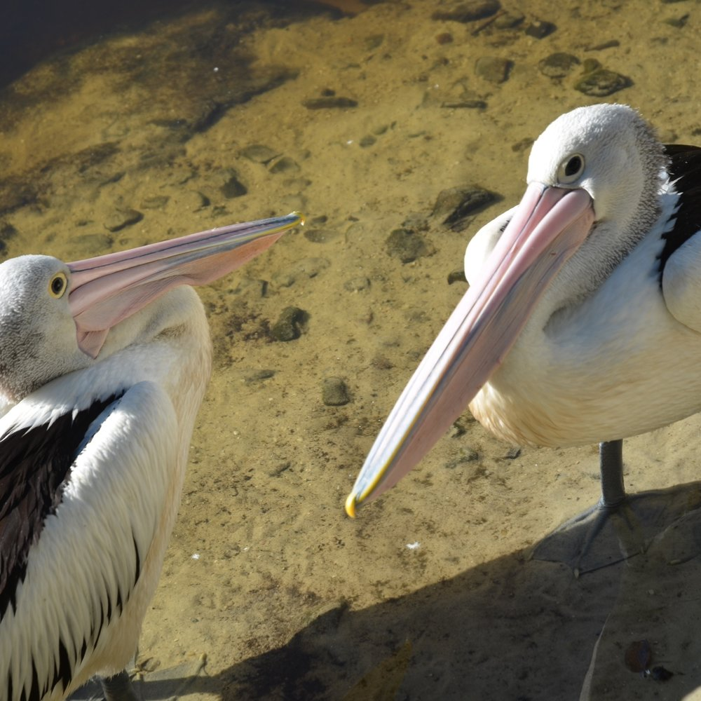 Pelicans, Currumbin Wildlife Sanctuary by Miles Dean for The Doubtful Traveller