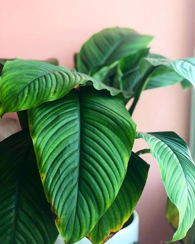 plant musings @drinkjuicemi 🌱🌱🌱 . . . . . #plantstagram #plantsonpink #plantsofinstagram #plantstyling #weloveplants #plantsplantsplants