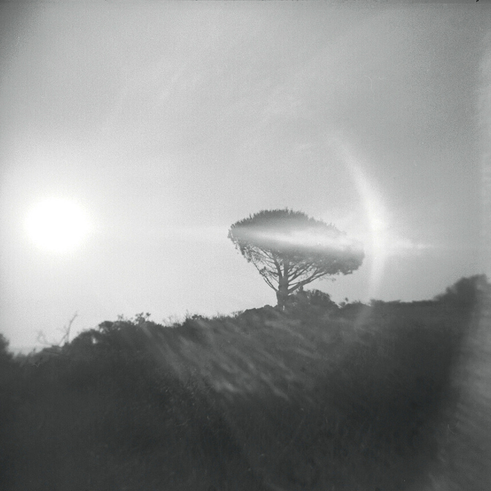 Magic Tree, Burbank Peak,  July 2012   Holga, Tri X 400