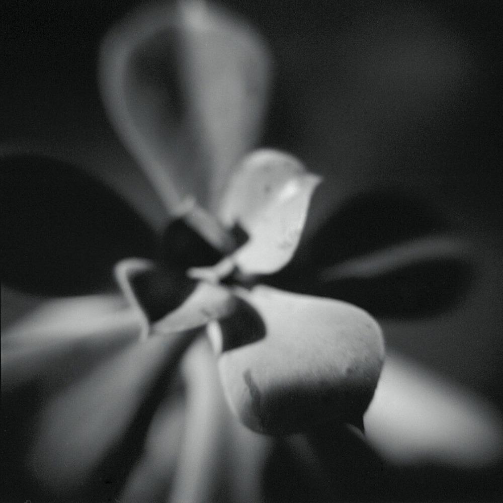 A tiny succulent photographed with a holga macro lens. July, 2012    Holga macro, Tri X 400