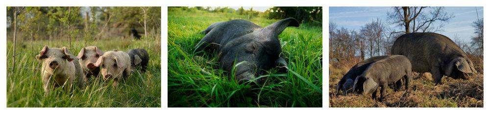 pastured-pigs-1.jpg