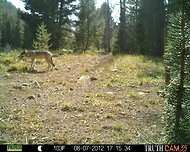 A wolf captured by a camera trap. Two days earlier, a flock of sheep were in the same spot in central Idaho.