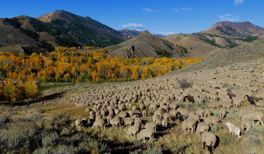 sheep heading down to valley.  Credit Carol Waller 2014.JPG