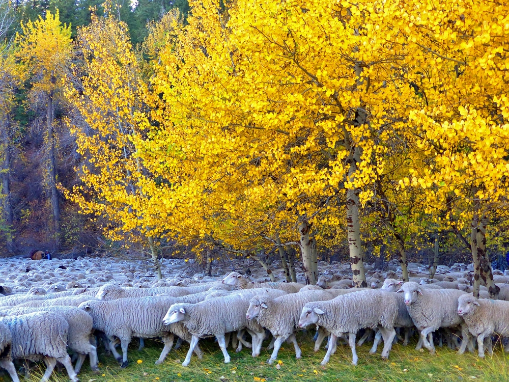 sheep under aspens best.  Credit Carol Waller 2014.JPG