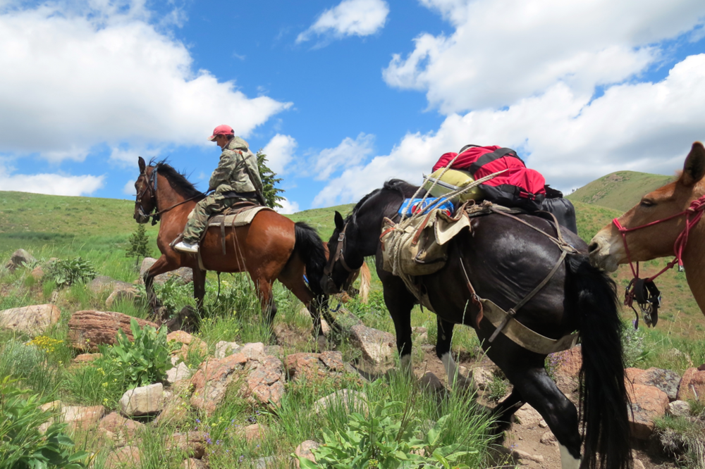 Jonathan and Alfredo heading up to their sheep camp with a Wood River Wolf Project Band Kit (the red bag tied on top of the packsaddle on the black horse), by horseback.