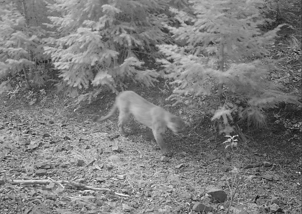 A cougar that was captured on one of the Wood River Wolf Project's camera traps in the Wood River Valley of Idaho.