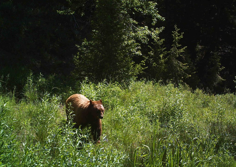 A cinnamon-colored black bear captured on one of the Project cameras. Photo: Avery Shawler